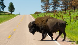 Bison crossing the road in SD